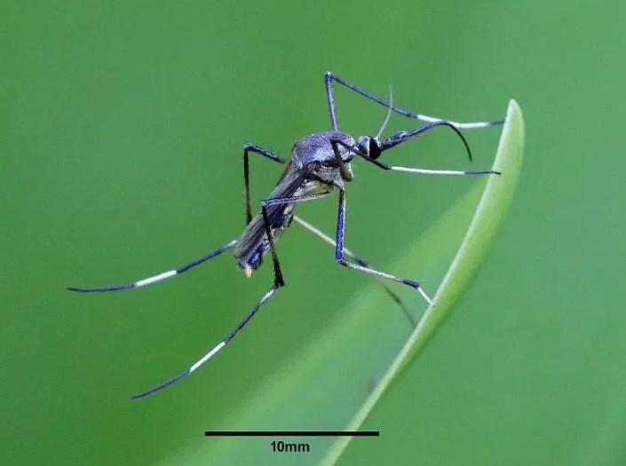10 Jenis-Jenis Nyamuk Dan Penyakit Yang Dibawanya
