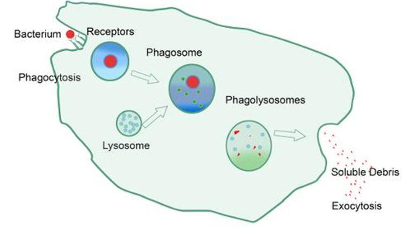Imunitas: Pengertian, Jenis, dan Contohnya